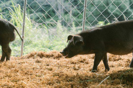나는 똥통 위에 사는 병든 돼지가 될 것인가