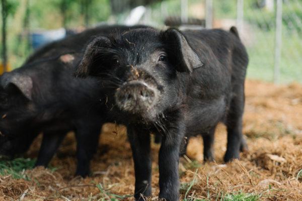 첫 돼지, 씨돼지 입식