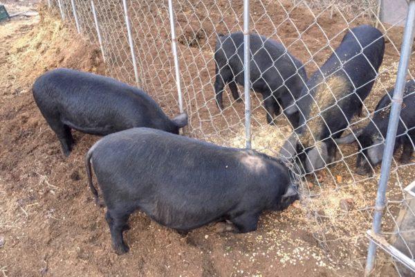 반전 있는 돼지탈출기
