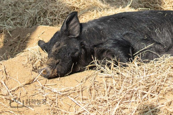 돼지들의 낮잠