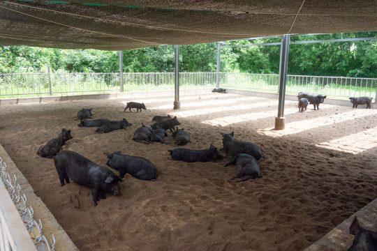 한국에 닥친 ASF, 하하농장 가슴이 철렁