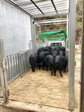 친환경 흑돼지 농장의 첫 출하