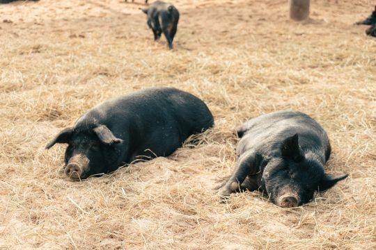 흑돼지농부가 말하는 흑돼지가 비싼이유 4가지