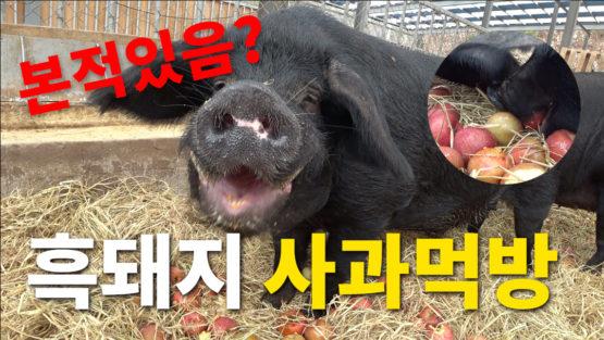 흑돼지 사과 먹방! 하하농장 흑돼지들 사과먹어요.